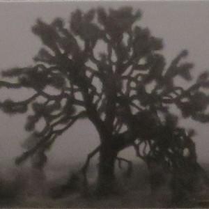Foggy Joshua Tree
