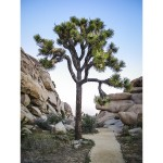 Trail of the Joshua Tree