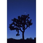 ROLEFF - Blue Joshua Tree - 14x11 - 150