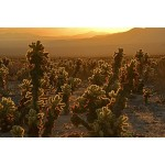 ROLEFF - Cholla Sunrise - 16x20- 150
