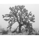 ROLEFF - Foggy Joshua Tree (Large) - 21x24 - 125